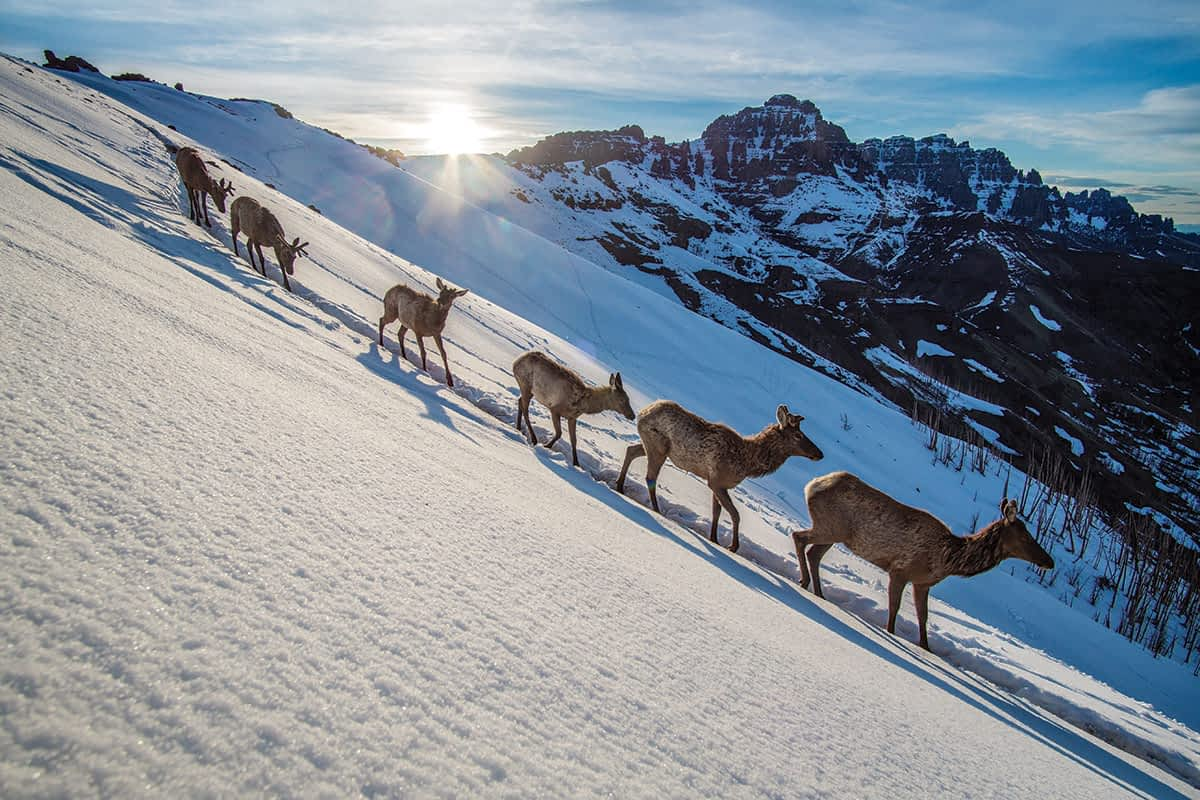 Elk migrate over a high mountain pass on the eastern boundary of Yellowstone National Park as they head into the park for the summer. This image was made with a motion-triggered camera trap.