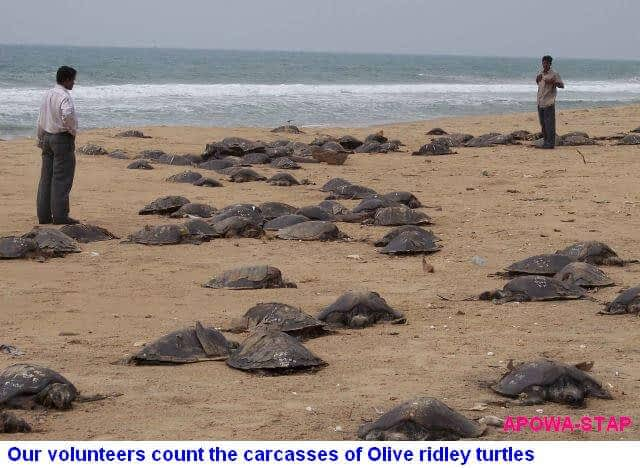 No Respite for the Olive Ridley Turtles