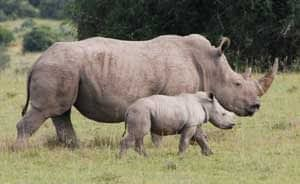 Vietnamese pop duo to help stop horror of rhino poaching