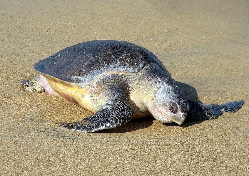 Update on Olive Ridley Turtles and the Dhamra Port, Orissa India: Controversial Involvement of International Union of the Conservation of Nature (IUCN)