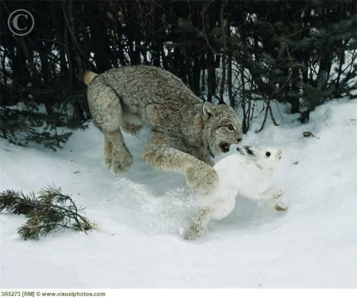 Return of the Lynx