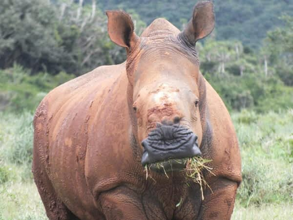 Forever Wild: Rhino recovery project