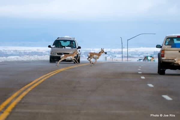 Introducing the Rocky Mountain Wildlife Bridge Company!