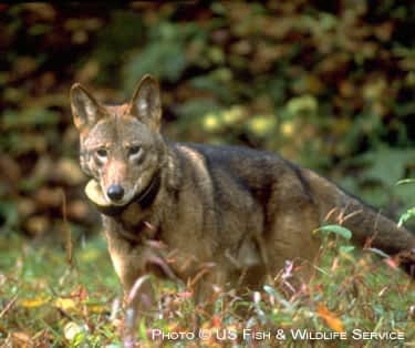 Friends of the Red Wolf