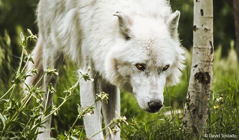 The surprising reason behind the disappearance of wolves in Colorado