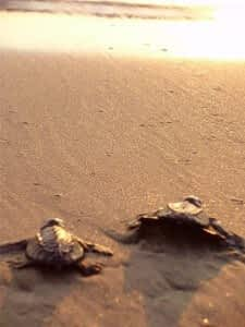 Olive Ridley turtles, in Mexico