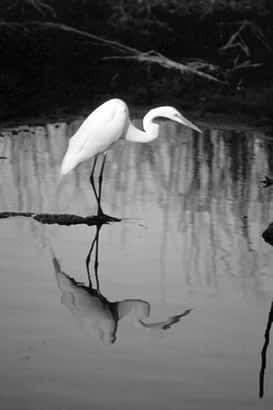 A Crane admires his reflection in the Florida Everglades. Photo by James M. Glover.