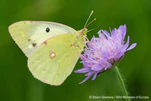 Berger's Clouded Yellow butterfly; Colias alfacariensis;