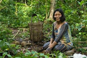 Kayapo, brazil nut collecting