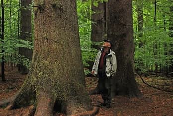 German environmental journalist Till Meyer in old growth forest of native Silver Fir (abies alba), the largest of which is some 6,4 m in circumference.