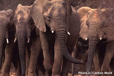 Mali Elephant Project, Photo (c) Carlton Ward