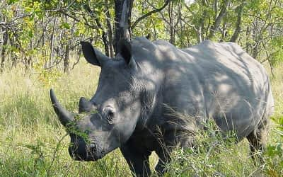 A Devastating Day for the White Rhino