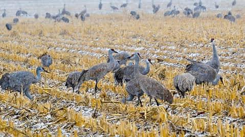 Sandhill Cranes in Kearney © Vance Martin