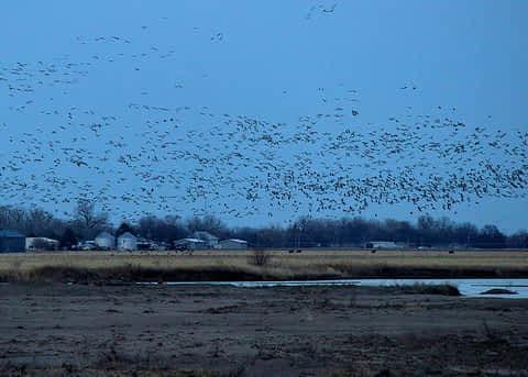 Crane Flock © Ryan Muckenhirn