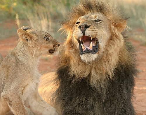 mabua lion © Geoff Dalglish