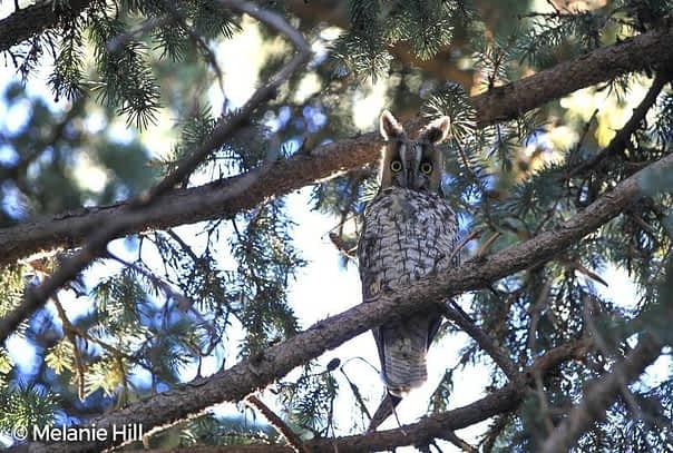 Long eared owl © Melanie Hill