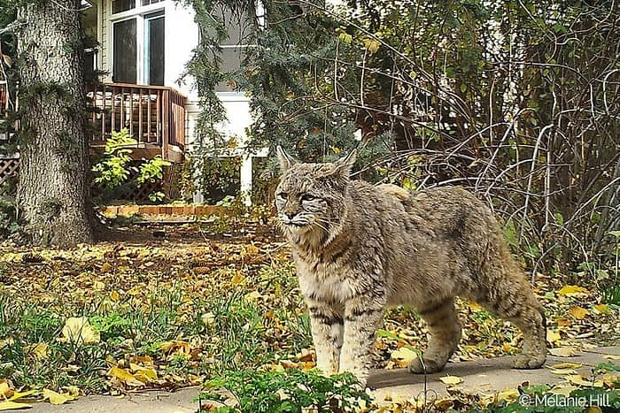 Boulder Backyard Bobcat