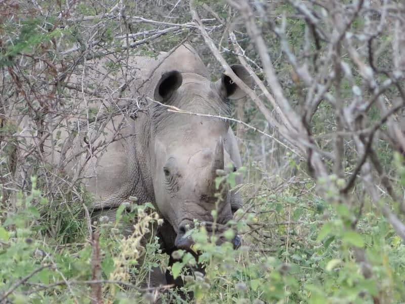 rhino on trail