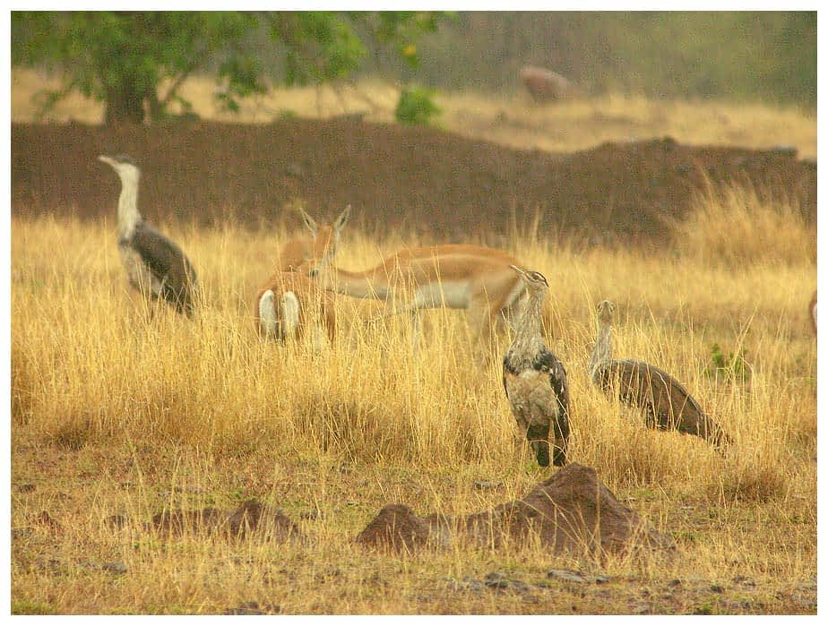 Male and Female Great Indian Bustards in grasslands.