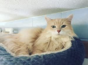 Kitten Asian Semi-longhair Buckrail - Jackson Hole, news