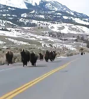 Yellowstone bison on a spring sprint.