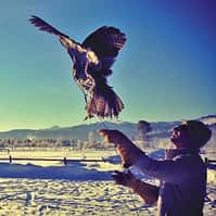 Great Gray Owl takes flight - photo courtesy TETON RAPTOR CENTER