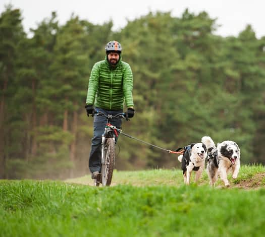 Two Border Collies and the owner on a bike